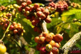Pemerintah dorong pengembangan kopi nasional agar bersaing