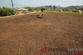 Magelang lestarikan lereng gunung dengan komoditas kopi