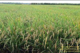 Libatkan TNI, Pasaman Barat cetak 98 hektare sawah baru