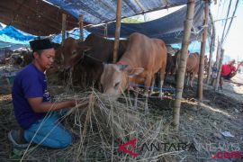 Presiden sumbang sapi kurban untuk warga Sleman
