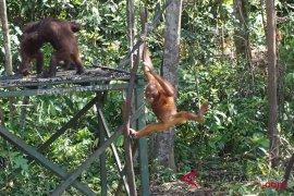 KLHK: orangutan tidak terganggu pembangunan PLTA Batangtoru