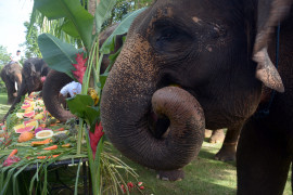Pertamina bantu pelestarian gajah sumatera, elang bondol