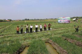 Kementan sukses ekspor bawang merah