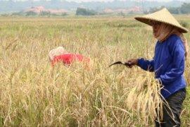 Petani Karawang berhasil kendalikan ancaman puso
