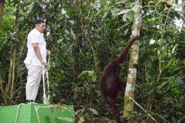 Pupuk Kaltim Bersama Balai TNK dan BKSDA lepas liarkan Orangutan