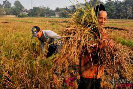 Studi AB2TI sebut produksi padi turun 39,3 persen akibat kemarau