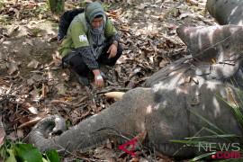 Seekor gajah jinak ditemukan mati di Pidie