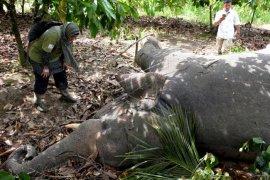 Gajah Sumatera ditemukan mati di area konsesi lahan