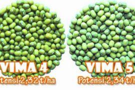 Balitbangtan lepas varietas kacang hijau VIMA 4 dan VIMA 5