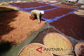Produksi cengkih petani Maluku Utara menurun