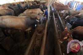 Disnak Kaltim siapkan 11.900 sapi kebutuhan Idul Adha
