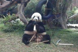 Taman Safari Bogor peringati setahun kehadiran panda