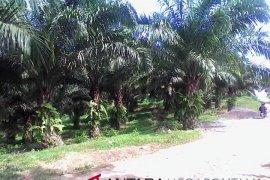 Bupati Sukabumi tidak merekomendasi perluasan lahan sawit
