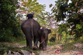Sudah saatnya berbagi ruang dengan Gajah Sumatera