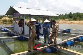 PT Timah bantu Desa Bukit Kijang kembangkan budidaya ikan di kolong