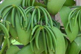 Harga vanili di Manado Rp2,5 juta kilogram