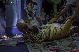 Harimau mati terjerat seharusnya lahirkan dua anak