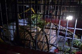 Harimau Sumatera mati terjerat kawat ternyata bunting