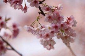 Sulsel akan  uji coba tanam pohon Sakura
