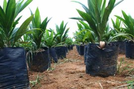 Industri sawit kontribusi Rp177 triliun terhadap devisa