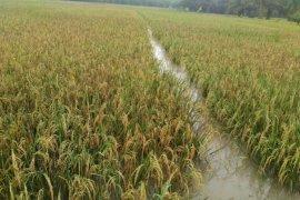 648 hektare tanaman padi petani terendam banjir