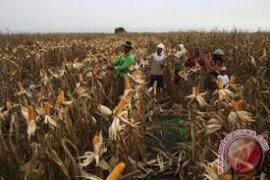 Petani Lebak Panen Jagung Seluas  756 Hektare