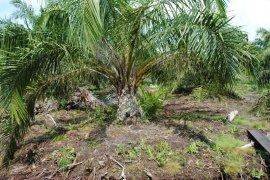 Mukomuko dapat jatah peremajaan 2.500 hektare sawit