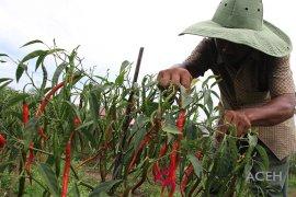 Petani Aceh Jaya kembangkan komoditas cabai