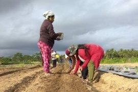 Disperindag Maluku Utara minta petani kembangkan sektor pangan