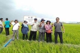 Padi IPB 3S berpotensi menghasilkan 11 ton per hektar di Jember