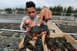 Kepiting bakau SBB tembus pasar Singapura dan Malaysia