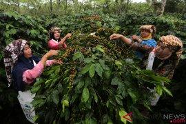 Bupati: Petani kopi paling takut jamur akar di dataran tinggi  Aceh