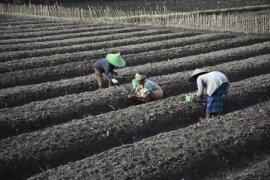Petani Bawang Merah Lombok Barat Page 1 Small