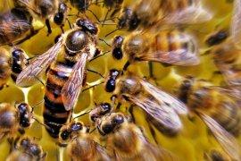 Peneliti UNIB kembangkan integrasi lebah dengan kebun kopi
