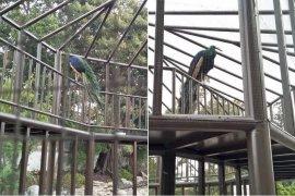 Ternyata, satwa langka ada dipelihara di Taman Pendopo Cianjur