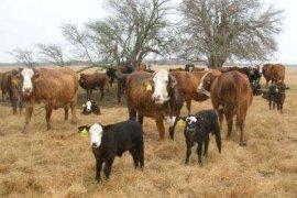 Kementan salurkan sapi indukan ke 24 provinsi