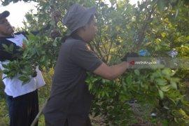 Teknologi Bujangseta Tingkatkan Produksi Jeruk Banyuwangi