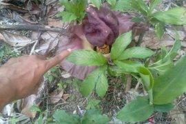 Bunga Bangkai tumbuh di komplek percandian Muarajambi