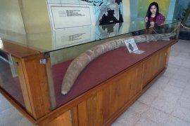 Fosil gading gajah purba ditemukan warga Ngawi
