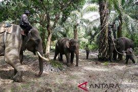 BKSDA tangkap gajah liar terisolasi di Subulussalam