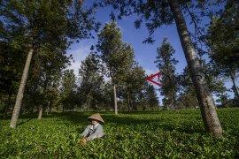 Peningkatan produksi teh
