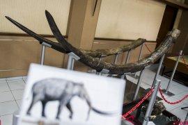 Temuan fosil gading Stegodon