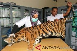 BKSDA Aceh identifikasi kulit harimau Sumatera