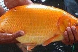 Dinas Perikanan Ajak Warga Budayakan Konsumsi Ikan