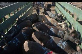 Pasar hewan Beringkit-Badung pakai e-retribusi