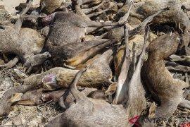 Polisi ringkus pemburu rusa di Pulau Komodo