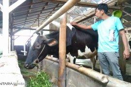 Memerah susu bagian wisata edukasi di Padang Panjang
