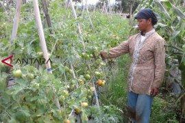 Harga tomat di Curup jatuh Rp1.000 per kilogram