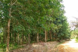 Hama jamur akar putih serang ribuan hektar kebun karet Batanghari