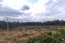 Pemerintah remajakan ratusan hektar kebun karet tua masyarakat